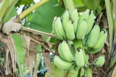 Bananier avec un groupe de bananes Images stock