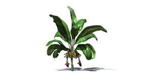 Bananier d'isolement sur le fond blanc illustration stock