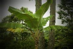 Bananier dans le jardin Images libres de droits