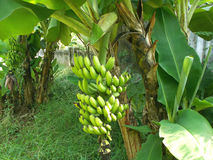 Bananier et groupe de fruits de banane Image stock