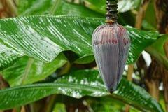 Bananier par temps pluvieux image libre de droits