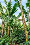 Bananiers et buissons de café, Guatemala, Amérique Centrale photographie stock