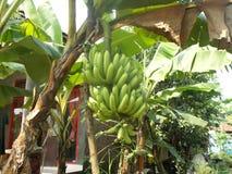 Bananiers et groupes de banane Images libres de droits