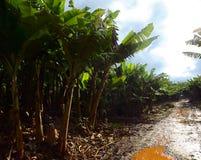 Bananiers par une route après pluie au Brésil Photos stock