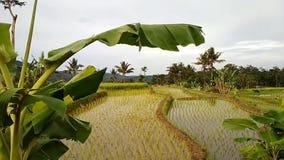 Bananiers soufflés par les feuilles banque de vidéos
