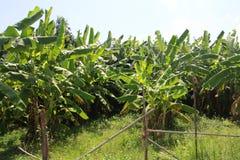 Bananiers verts La Thaïlande Bangtao Thaïlande Photos libres de droits