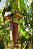 Banankoloni nära Nilen Blomningbanan Royaltyfri Fotografi