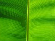 bananleaf Arkivfoto