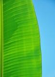 Bananleaf med skyen Fotografering för Bildbyråer