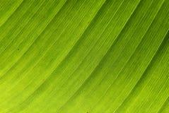 bananleaftextur royaltyfri bild