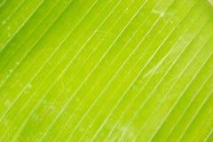Bananleaftextur Royaltyfria Bilder