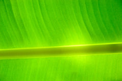 bananleaves Arkivfoton
