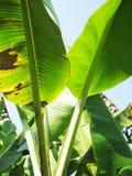 bananleaves Royaltyfri Foto