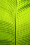 Bananna leaf. Backlit fresh green palm leaf with small water drops on it Royalty Free Stock Photo