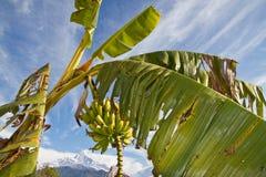 Banano Fotografia Stock Libera da Diritti