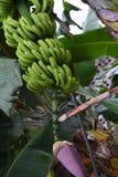 Banano Fotografia Stock