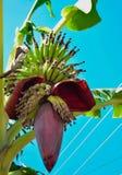 Banano con il fiore e la frutta Fotografia Stock Libera da Diritti