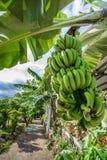 Banano con il mazzo di coltivare le banane verdi in villaggio Fotografia Stock