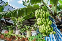 Banano con il mazzo di coltivare le banane verdi in villaggio Fotografia Stock Libera da Diritti