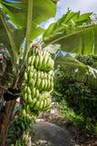 Banano con il mazzo di coltivare le banane verdi in villaggio Fotografie Stock Libere da Diritti