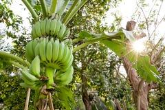 Banano con luce solare di mattina fotografie stock libere da diritti