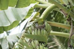 Banano con un nido dell'uccello Immagine Stock Libera da Diritti