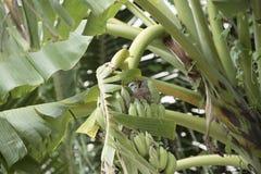 Banano con un nido dell'uccello Fotografia Stock Libera da Diritti
