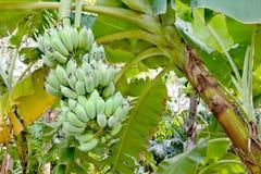 Banano in giardino immagine stock