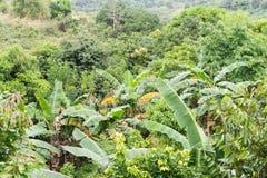 Banano nei tropici Fotografia Stock Libera da Diritti
