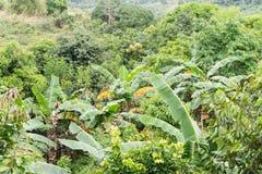 Banano nei tropici Fotografie Stock Libere da Diritti