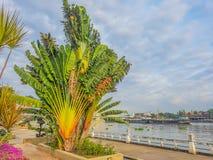 Banano piantato dal fiume Immagini Stock Libere da Diritti