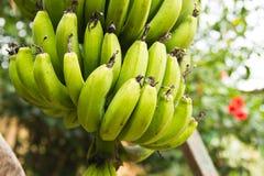 Banano verde Immagine Stock Libera da Diritti