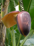bananowa duży kwiatu szczegółu fotografia Fotografia Stock