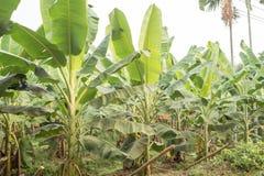 bananowa hoa khanh plantaci prowincja Vietnam zdjęcie stock
