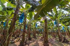bananowa hoa khanh plantaci prowincja Vietnam obrazy stock