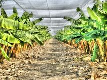 bananowa hoa khanh plantaci prowincja Vietnam Zdjęcie Royalty Free