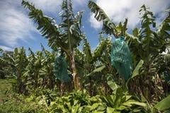 bananowa hoa khanh plantaci prowincja Vietnam Zdjęcia Stock
