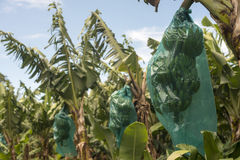 bananowa hoa khanh plantaci prowincja Vietnam Obraz Royalty Free