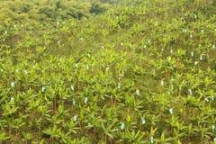 bananowa monokultura zdjęcie royalty free