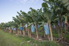 Bananowa plantacja Obrazy Royalty Free