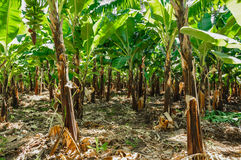 Bananowa plantacja zdjęcia stock