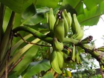 Bananowa roślina Fotografia Stock