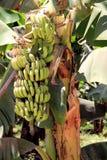 Bananowa roślina. Zdjęcie Royalty Free