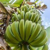 Bananowa roślina Zdjęcia Royalty Free