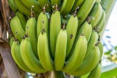 Bananowa roślina Fotografia Royalty Free
