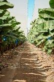 Bananowa roślina Zdjęcie Stock