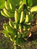 Bananowa roślina w Paphos, Cypr Zdjęcie Stock