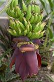 bananowa wiązka Zdjęcie Royalty Free