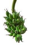 Bananowa wiązka na drzewie Obraz Stock