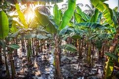 Bananowe plantacje Zdjęcie Stock